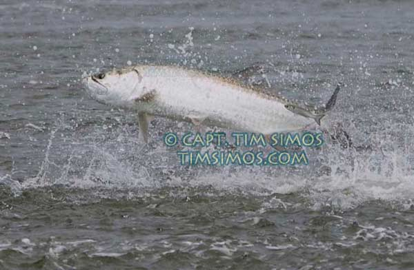 Tarpon Fort Pierce area guide
